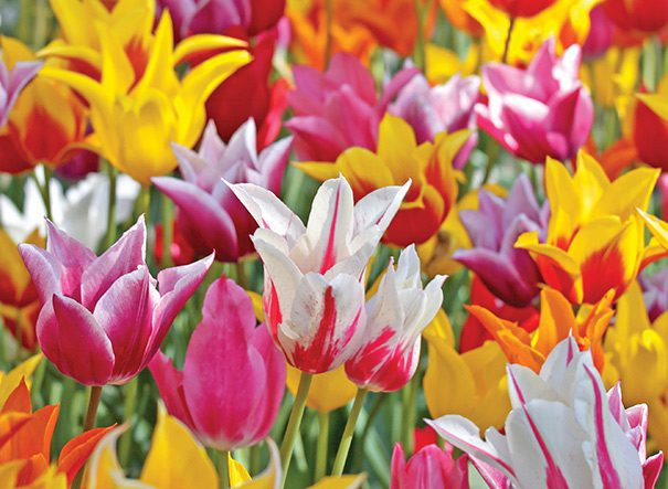 Tulips_Lily_Flowering-1