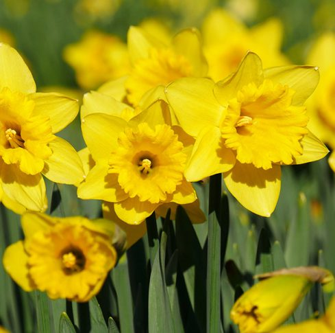 Daffodil_California