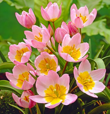 Tulip_Lilac_Wonder