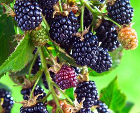 Arapho blackberries growing on a branch in various stages of ripeness