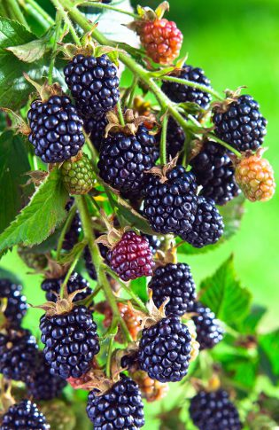 Blackberry_ArapahoThornless