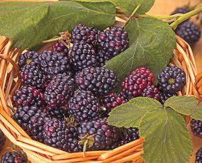 Triple Crown blackberries in a wicker basket with a few leaves