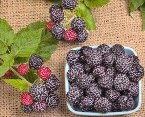 Raspberry_September_berry