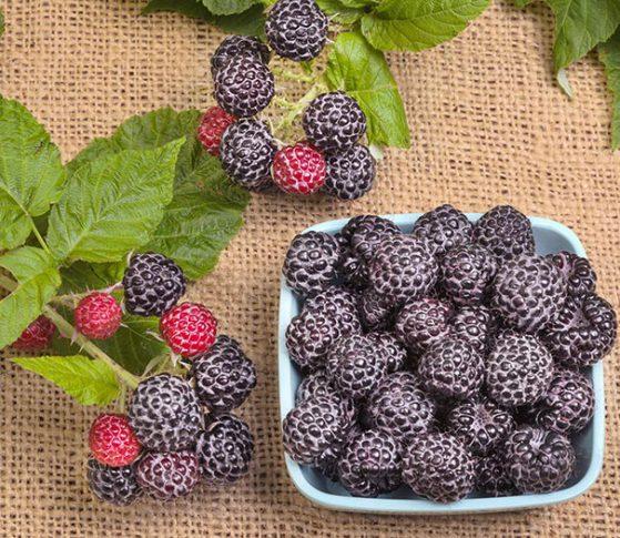 Raspberry_September_berry
