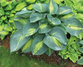 hosta_dream_queen
