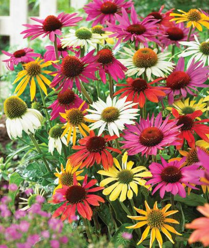 Echinacea_Butterfly_Mix