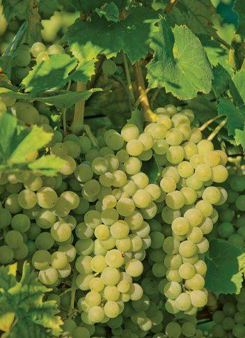 Grape_Elvira1