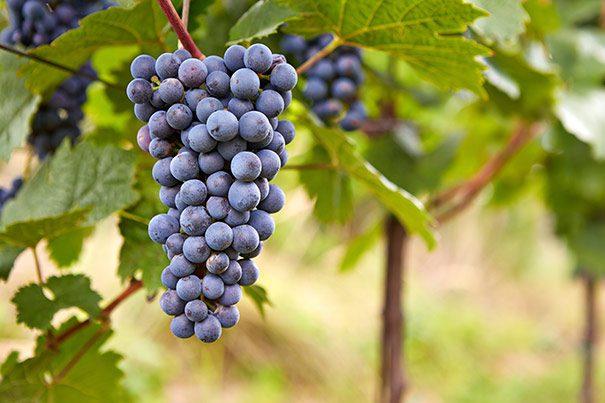 Grape_Frontenac