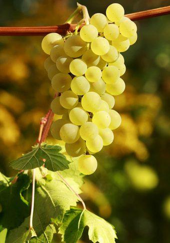 Grape_PrairieStar