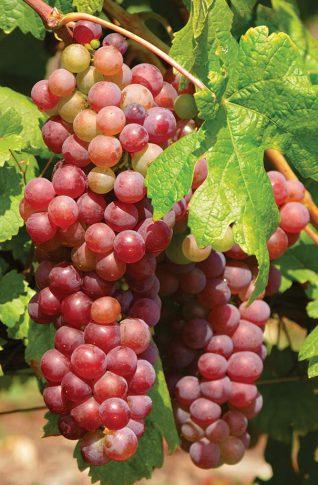 Grape_Suffolk