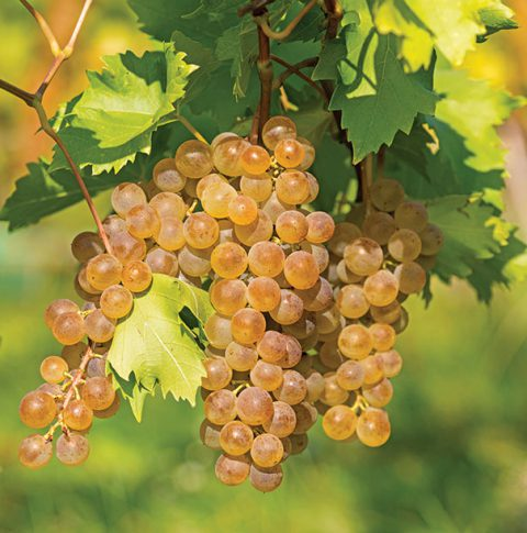 Grapes_Lakemont