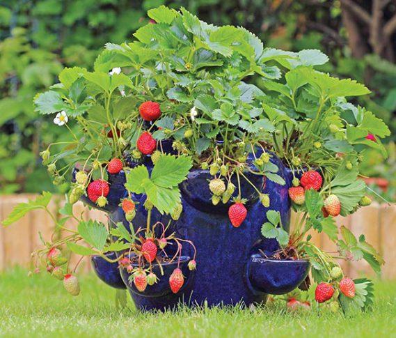 Strawberry_Temptation