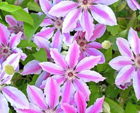 Clematis_NellyMoser