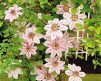 Clematis_Nelly_Moser1