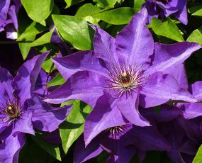Clematis_President