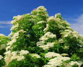 Elderberry_Bush