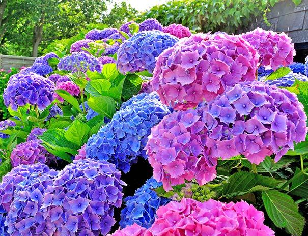 Hydrangea All Summer Beauty Macrophylla