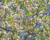 NanKing_Cherry_Tree