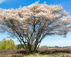 Serviceberry_Fullgrown