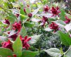 Sweet_shrub_bush