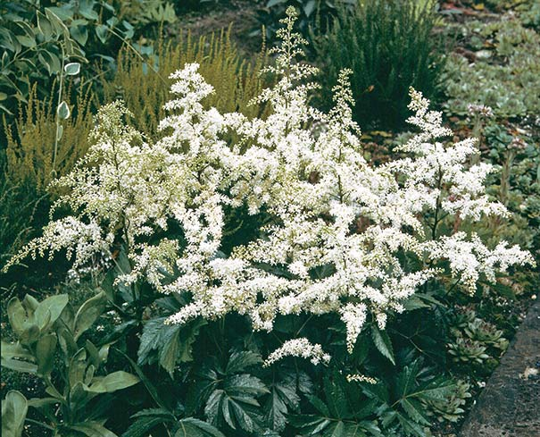 white astilbe with dark green serrated foliage in the landscape