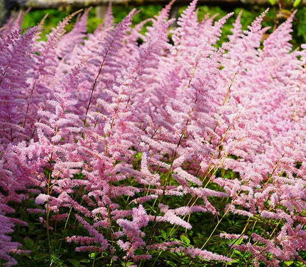 Rows of light pink Astilbe Finale plumes in a field