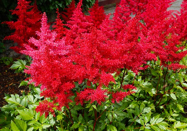 A group of red Astilbe Glow plumes with medium green serrated foliage
