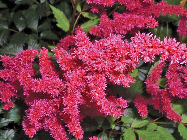 close up of Astilbe Glow with tiny pink blossoms
