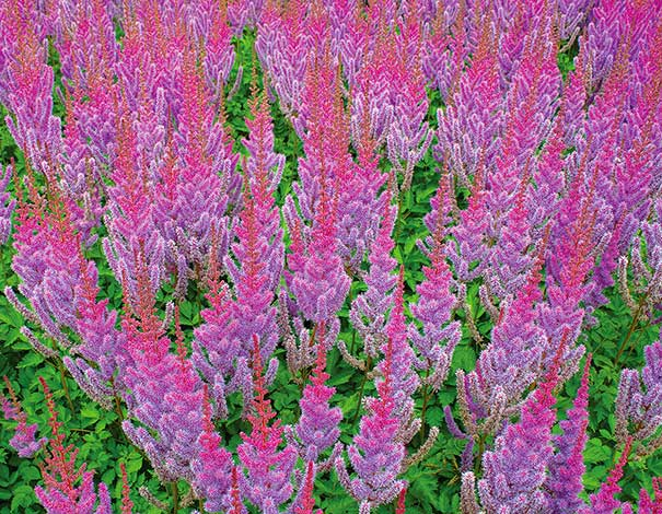 LavendGroup of Superba Astilbe plumes fading into bright pink at the tips