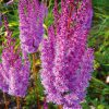 Close up of 3 Superba Astilbe with lavender to pink plumes of tiny flowers