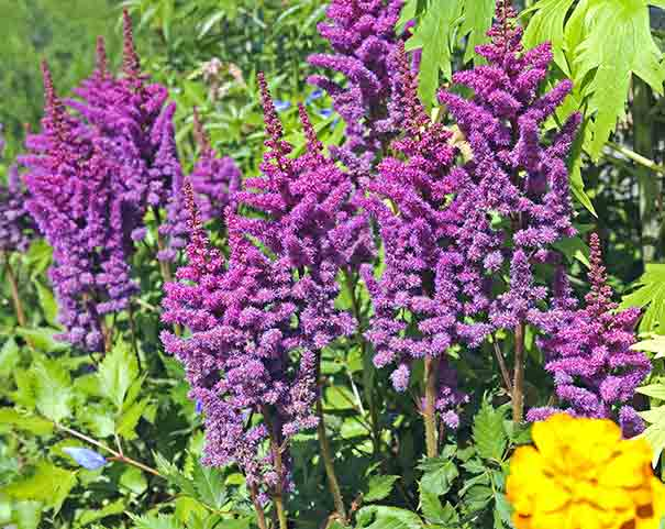 A group of purple to pink Astilbe Visions plumes with voliage in the background
