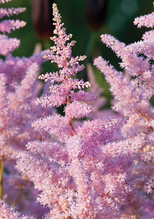 Close up of pink Astilbe plumes