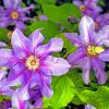 Group of Barbara Jackman purple clematis with fuschia stripes