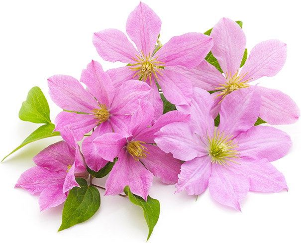 6 pink clematis with a few stems of foliage against a white background