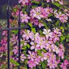 Comtesse de Bouchard clematis climbing and covering a rod iron fence