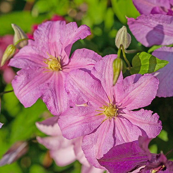 2 Comtesse de Bouchard clematis blossoms with a faded background of green foliage