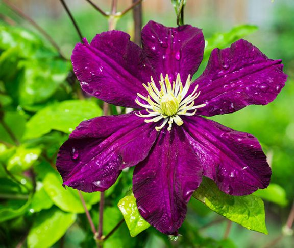 Clematis_Gypsy_Queen
