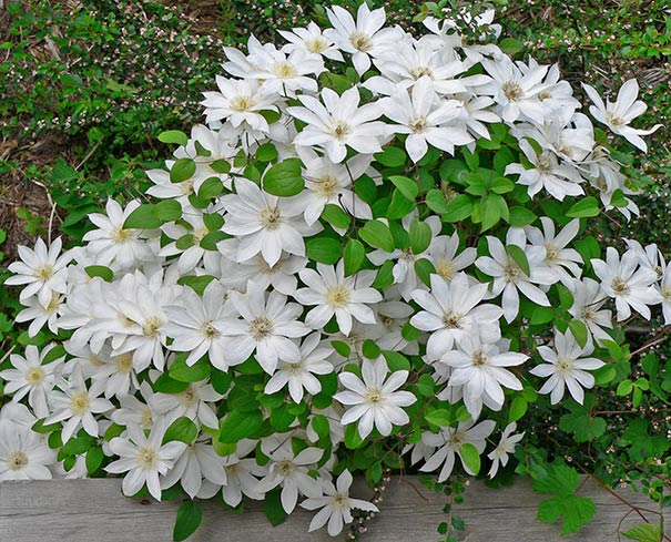bundle of white Clematis Henryi vines next to wood and surrounded by other green foliage