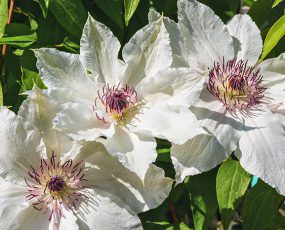 3 white clematis blossoms with dark purple stamens