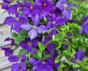 Group of deep purple Clematis Jackmanii vines in front of wood