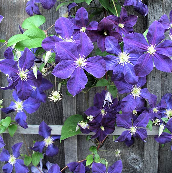 group of deep purple Clematis Jackmanii sporadically covering a wood fence