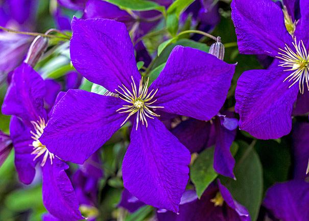 close up image of a deep purple Clematis Jackmanii blossom