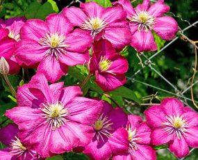 group of 8 to 10 Rouge Cardinal Clematis blossoms on a chain link fence