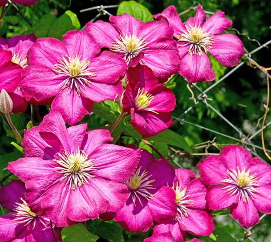Clematis_RougeCard