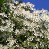 large group of Clematis Sweet Autumn with blue sky in the background