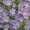 large group of lavender Clematis Will Goodwin blossoms and vines
