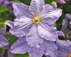 close up image of 2 lavender Clematis Will Goodwin blossoms