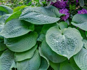 Hosta_Blue_Angel