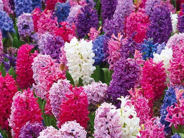 Hyacinth_Mixed1