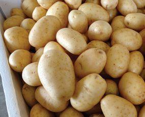 Potato_Kennebec